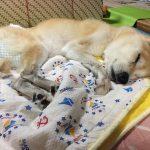 老犬の夜泣きに効く薬を獣医さんに聞きました!夜は放置しても大丈夫なの?